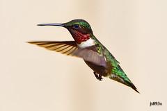 Ruby-throated Hummingbird  (male) (jt893x) Tags: 150600mm archilochuscolubris bif bird d500 hummingbird jt893x male nikon nikond500 rubythroatedhummingbird sigma sigma150600mmf563dgoshsms specanimal