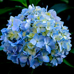 Hydrangea Waiting for The Rainy Season : 梅雨を待つ紫陽花 thumbnail