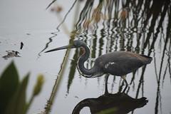 IMG_7075 (tomv2000) Tags: green cay wetlands tricolored heron i floridawildlife wetlandwildlife