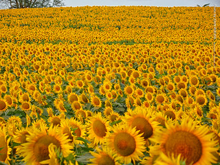 Sunflowers at Grinter Farms, 7 Sept 2016