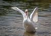 Swan-0014.jpg (vorneo) Tags: bird swan familyanatidae kingdomanimalia orderanseriformes classaves wild genuscygnus phylumchordata binomialnamecygnusolor wildbird speciescolor muteswan