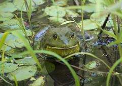 Bullfrog, Garden of The Gods Wilderness, IL (Ranger Robb) Tags: gardenofthegodsillinois shawneenationalforest nature
