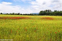 campos (tonomf) Tags: amapolas cereales trigo campos cielo nubes verde rojo azul paisaje nikon nikond5100
