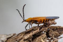 Banded Net-winged Beetle (Calopteron reticulatum, Fabricius, 1775) Familia: Lycidae (Adolfo Montes) Tags: bandednetwingedbeetle calopteronreticulatumfabricius1775 familialycidae calopteronreticulatum reservadelabiosferachamelacuixmala chamelacuixmala estacióndebiologíachamela jalisco méxico escarabajo macro insecto insect