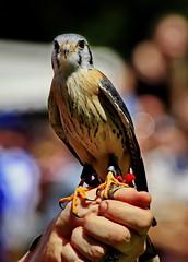 Kleiner Falke (Rolf Piepenbring) Tags: falke valk falcon hunter littlehunter