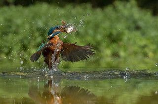 Female Kingfisher ( Alcedo atthis )