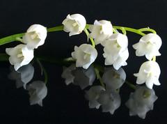 Poisonous beauty (Uup115) Tags: macromondays poisonous kielo lilyofthevalley convallariamajalis suomenkansalliskukka finnishnationalflower macro lumia1520 hmm