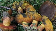 Neoboletus luridiformis / Bolet à pied rouge (Joseph Nuzzolese) Tags: neoboletus luridiformis bolet à pied rouge