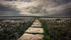 cotton fields (Phil-Gregory) Tags: cottongrass peakdistrict nikon d5200 tokina 1120mm 11mm 1120mmf28 brownknoll path light beauty fly peace naturalphotography naturalworld nature natural naturephotography field pov low dof grass clouds sky