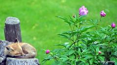 DSC_0707 (rachidH) Tags: fox renard vulpes foxcub renardeau redfox renardroux vulpesvulpes backyard frontyard wildlife sparta newjersey nj rachidh nature