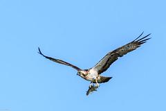 Osprey with Roach (Pandion haliaetus) (iancooper6) Tags: esthwaitewater lakedistrict pandionhaliaetus ijc bird nature beak roach nikon lake outdoor osprey flying animal