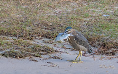 striated heron (Butorides striata)-2781 (rawshorty) Tags: rawshorty birds australia nsw portmacquarie