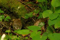Apodemus sylvaticus (Andrea Lugli) Tags: mouse topo nature natura undergrowth sottobosco canon eos 450d sigma 18250 dc hsm