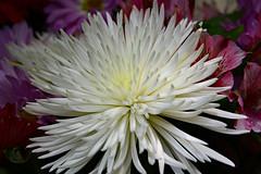 Spiky White (BKHagar *Kim*) Tags: bkhagar flower floral bloom blossom white spikes spiky challenge julesphotochallengegroup