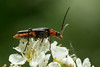 Weichkäfer (planetvielfalt) Tags: auenwald cantharidae coleoptera elateriformia polyphaga leipzigrückmarsdorf sachsen deutschland