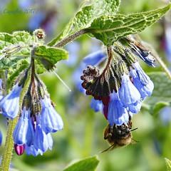 Azuurblauwe smeerwortel - Symphytum azureum - Azure lubricant root (Cajaflez) Tags: bee honingbij insekt bloem azuurblauwesmeerwortel symphytumazureum ngc npc