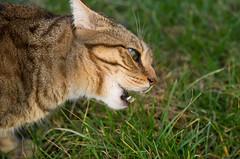 Doux comme un chat ! (phonia20) Tags: chat regard cat pentax k3 canines fauve félin méchant animaux familier pet attaque pentaxart