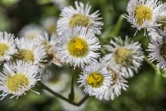 Flower (will139) Tags: edinburghindiana campatterbury outdoors growth fragility closeup colorful fieldflower flowerhead