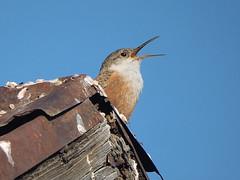 Canyon wren singing (David Bygott) Tags: usa arizona ruby bird