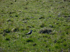 pewit (Lalallallala) Tags: vanhankaupunginlahti helsinki finland suomi nature outdoors bird wildlife töyhtöhyyppä vanellusvanellus pewit