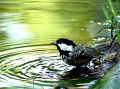 Coal Tit bathing 25.5 (ericy202) Tags: coaltit bathing earlymorninglight weetingheathnwt