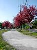 ** Les coureurs ** (Impatience_1) Tags: coureur jogger jogging pistecyclable arbreenfleurs floweringtree printemps spring mai may m impatience tree explore explorer xplor sentier chemin gens people saveearth abigfave
