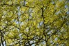 Sun through leaves (D John Walker LRPS) Tags: tree sun sunny light dapple blue green norwich ditchingham all hallows