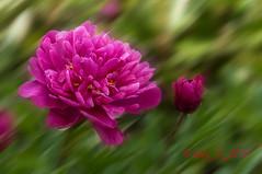 Pivoine rouge (Guy_D_2010) Tags: d90 pivoine nikon nikonfrance nikoniste nature nikonafs55300mmf4556gedvr fiore flor floare fleur flower valdoise vauréal awesomeblossoms artonflickr flowersarefabulous