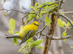 Blue-winged Warbler (Summerside90) Tags: birds birdwatcher warblers bluewingedwarbler may spring migration nature wildlife hillmanmarsh ontario canada