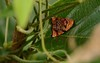 Rubropsichia fuesliniana (robertoguerra10) Tags: moth mariposa red vermelha pequena smoll spot black silver linhas prateadas wildlife natureza rara rare exotic exotica linda beautiful nordeste brazil brasil photo nao identificada rubropsichia fuesliniana tortricidae