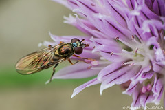 unknown fly (Alexandre D_) Tags: canon eos 70d sigma sigma120400mmf4556oshsm raynox raynoxdcr250 dcr250 macro macrophotography macrophotographie macrounlimited cheapmacro closerandcloser closeup insect insecte fly ciboulette plante plant flower civette alliumschoenoprasum chives cebollino schnittlauch chiboulette brelette purple color colors green gold bokeh bokehlicious bokehoftheday smoothbokeh billymontigny hautsdefrance nord pasdecalais nature natural earth planet outdoor bugs diptera mouche