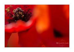 IMGP1022cnet (Champpommier) Tags: pavots coquelicot fleur rouge