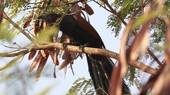 Southern Coucal