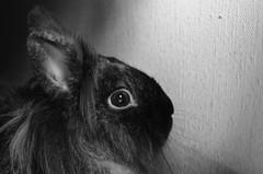 NOOB 2 (EL JOKER) Tags: rabbit lapin cony les allummers prod gimp nikon d7000 afs dx nikkor 35mm f18g noir et blanc black white 2017 linux potrait photo photographie photography png cc by nc nd creative commons animal pet geek noob portrait