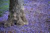 Purple Rain.... (Joe Hengel) Tags: purplerain socal southerncalifornia sanjuancapistrano jacarandatree jacaranda spring springtime springday springflowers purple tree trunk treetrunk theoc orangecounty oc goldenstate grass green