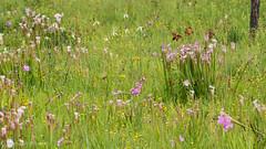 Pitcher Plant (stephaniepluscht) Tags: alabama 2017 graham creek nature preserve foley wildflowers wildflower pitcher plant plants sarracenia bog whitetop sedge dichromena colorata