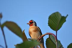 Chardonneret (1) (philjacq77) Tags: philjacq nikon bird oiseau chardonneret d5200