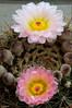 Fiori di pianta grassa (ironmember) Tags: cactus piantagrassa fioredicactus cactacea fiorellini nelvaso allaperto sulbalcone fioritura fiorituradomestica manolibera luceambiente macro tele telemacro d90 nikon nikond90 madeiphoto fiore pianta