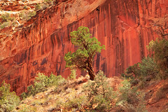Mesquite (benzhtan) Tags: desert southwest travel tree rock red capitol reef national park capitolreef nationalpark canon canoneos70d