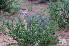 African Wildcat (fascinationwildlife) Tags: animal mammal africa south african wild wildlife wildcat cat summer nature natur national park wildkatze desert safari elusive feline kgalagadi kalahari transfrontier ktp