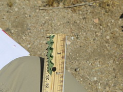 Rinnie_8297 (dimensions of biodiversity) Tags: oneothera californica californicaavita yucca valley california incatrail rinnie oenothera 2017 yuccavalley