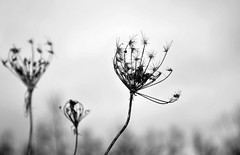 Dry Weeds (Nicky Page) Tags: nature landscape black white winter weeds outdoors natural light d3100