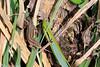 Common Lizard (raven fandango) Tags: ickleford river hiz british canon eos 70d 100mm macro f28 countryside england english hertfordshire herts lizard lizards may 2017 common nature photography photo photos reptile uk wildlife wild amphibian