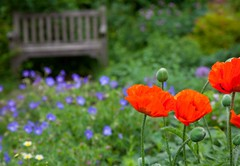 Natures  Corner... (Adam Swaine) Tags: flora flowers londonparks naturelovers nature england english poppies commonpoppy britain british uk ukcounties canon swaine colours spring parks