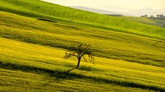 Val d'Orcia  … il paesaggio della poesia … (miriam ulivi) Tags: miriamulivi nikond7200 italia toscana valdorcia campagna countryside verde green giallo yellow nature albero tree 7dwf