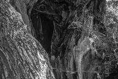 146 de 365potos ByN (pico_de_la_miel) Tags: bierzo carucedo lacuevona lagoartificial minaromana oro lasmédulas orellán castaños galerías mirador proyecto365photos2017 biodiversidad byn blancoynegro brancoepreto blackandwhite tronco hueco