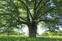 Speierling-Baum (nordelch61) Tags: speierling frucht baum apfelähnlich zutat apfelwein hochstädter obstbaum wetterau obermörlen hessen tree