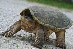 Snapping Turtle [ Explored ] (timvandenhoek1) Tags: turtle snappingturtle mean vicious ancient dinosaur snap bite food delicious gravel reptile america unitedstatesofamerica missouri ruralmissouri ornery dangerous sonyilce6000 timvandenhoek