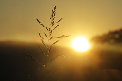 Coup de soleil (nathaliedunaigre) Tags: sunset coucherdesoleil herbe herbesauvage contrejour silhouette nature wildgrass macro details détails