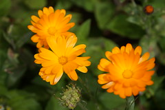 Ooty Flowers Garden (selvan-tamilmani) Tags: outdoor flower flowers beautiful beauty garden closeup photo photography selvanphotography orange color ooty tamilnadu india green nature